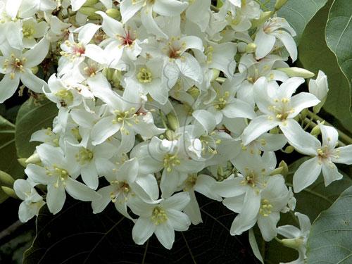 雄花序通常花數較多,可多達數十朵。