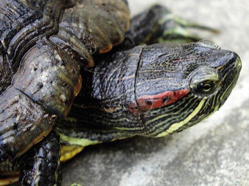 巴西龜眼睛後面的紅色條紋是牠們的主要特徵。
