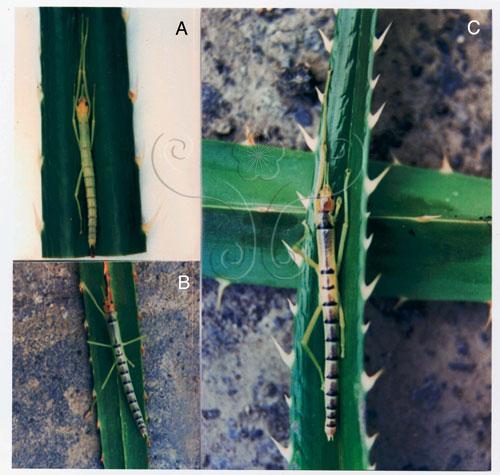 台灣特有津田氏大頭竹節蟲蛻皮後之再生現象。A.右後足斷 B.右前足斷 C.脫皮後,右前及右後足已再生。
