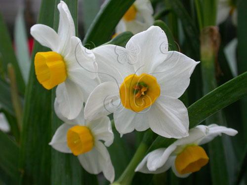 在春節常見的中國水仙(<i>Narcissus tazetta</i> L. subsp. <i>chinensis</i> Boem & Cheng)