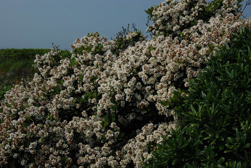 滿樹繁花的厚葉石斑木