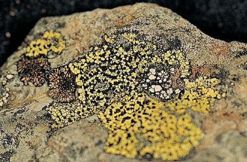 地圖衣(Rhizocarpon)見於高山地區,為岩棲性殼狀地衣。