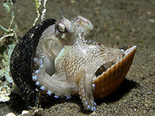 章魚會沿路找尋合適的材料,改裝成保護自己的外殼。