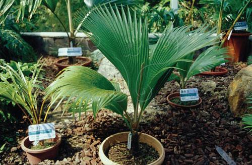 葉子已經較為「扇形」的斐濟櫚。