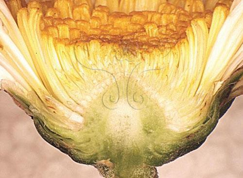 菊花是頭狀花序,外部由多數鱗片層疊成總苞。