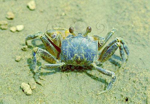 常見的斯氏沙蟹體色為土褐色