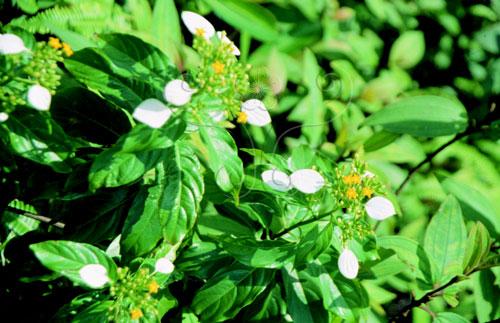 白色的「玉葉」及金黃色的「金花」,是玉葉金花屬植物的主要特徵。