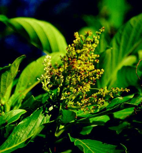 呂宋水錦樹蒴果圓球型, 直徑僅約1公釐成熟時呈暗褐色。