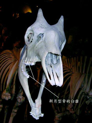 羊的前臼齒與臼齒成新月型脊
