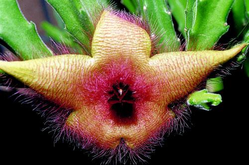 魔星花似腐肉的紅棕色和氣味吸引蠅類傳媒