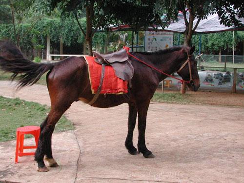 馴化的蒙古野馬