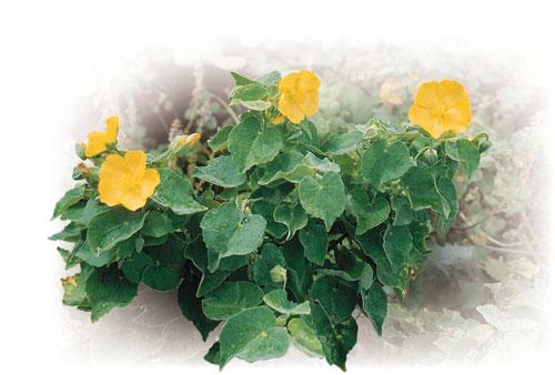 在蘭嶼的冬葵子往往生得比較低矮