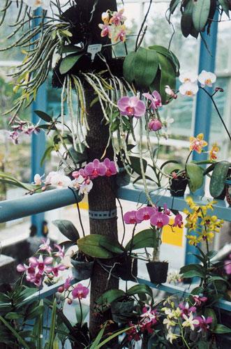 台灣蝴蝶蘭為著生的蘭花