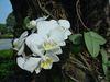 蝴蝶蘭為著生蘭,喜棲息於大樹的中段樹幹