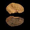 桑黃模式標本保存於國立自然科學博物館