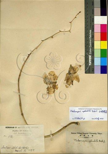 在東京大學植物標本館找到首份採自蘭嶼的臺灣蝴蝶蘭標本