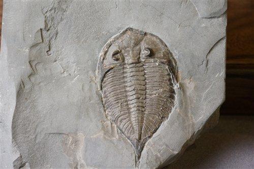 達爾曼蟲(Dalmanites limuloides),紐約州羅徹斯特頁岩,志留紀。
