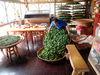 茶農在製茶場旁設的品茗空間