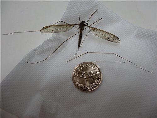 民眾發現並送至科博館鑑定的大蚊標本