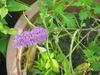 本館生物學組王秋美博士在館內栽種的銅草花