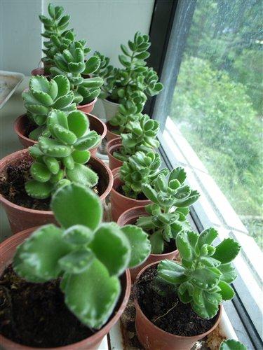 熊童子很適合向陽面窗台的室內綠化