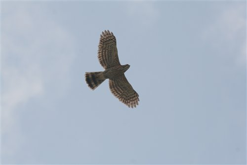 飛行中的鳳頭蒼鷹