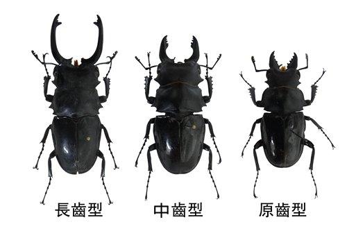 鬼豔鍬形蟲不同齒型雄蟲(本館所藏標本)