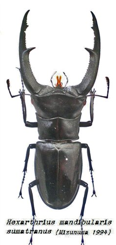 巨顎叉角鍬形蟲