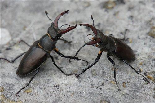 雄鍬形蟲打鬥前會抬頭張牙,疾震觸角,對峙一番來打量對方