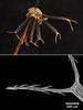 大花咸豐草的果實先端具有兩支大叉,每支大叉有約10根倒刺。
