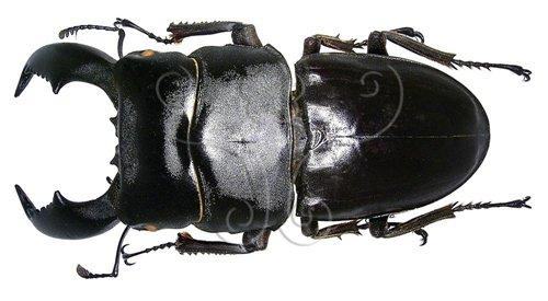 東南亞的扁鍬形蟲跟日本的為不同亞種,有些體長超過10公分