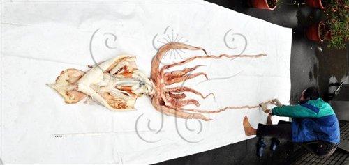 整理大王魷魚標本拍攝整體標本照