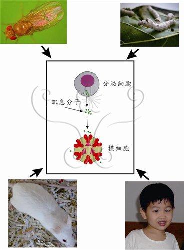 從昆蟲到人類十分相似的訊息傳遞路徑
