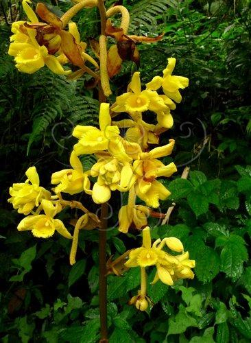 初夏中高海拔山區的小囊山珊瑚,正盛開著鮮黃的花朵