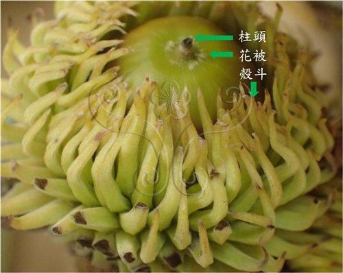 栓皮櫟果實,殼斗的鱗突是螺旋排列