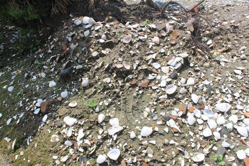 菜園角遺址地表密布的貝殼與陶片