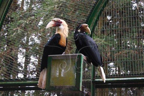 鳳凰谷鳥園生態園區來自熱帶的「犀」客-布萊斯犀鳥。