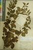 矢野氏1a號標本,乃1896年5月26日採自臺北士林附近的馬甲子。