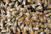 蜂群為一高度進化的社會性昆蟲群體,頭部有紅色標記者為蜂王,體型稍大。