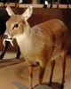現生的獐標本,雄性,日本國立科學博物館展示(影像來源:維基百科網站