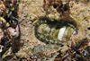 大駝石鱉棲息在海膽挖出的舊凹洞中