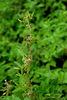 臺灣大豆的植株略帶纏繞的特性