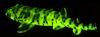 呈現綠色螢光的東太平洋網紋絨毛鯊(Sparks, J. S等,WC)