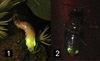 鄭凱甄怪眼螢(香港)雌蟲(1)與雄蟲(2)的發光