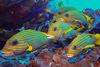 成群的條紋石鱸是四王群島的看板明星