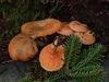 乳菇屬真菌,為臺灣冷杉之外生菌根菌
