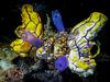 在四王海底到處可見的金黃多囊海鞘與棍海鞘