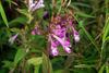 2009年發現的山蘿花,已從玄參科被移至列當科