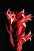 美花綬草鮮紅色的花朵
