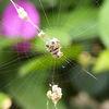 成熟的二角塵蛛,其體長約4 mm。